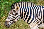 Zebra looks on