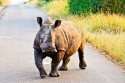 Rhino in the Road