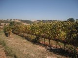 The vineyards at Tenuta del Carbognano