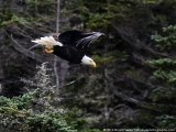 A bird of prey in flight