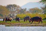 Hippos on bank