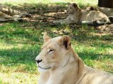 Lion Park - Lazing around