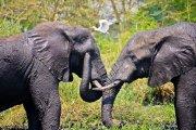 Elephants and Dove
