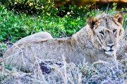 Lion relaxing in sunshine