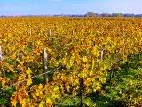Vineyard Margaux
