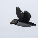 A puffin in flight - seen during a boat tour