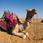 Camel Thar Desert